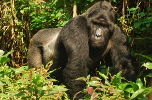 Silverback-Gorilla-Bwindi-Impenetrable-Forest-Experience-Uganda