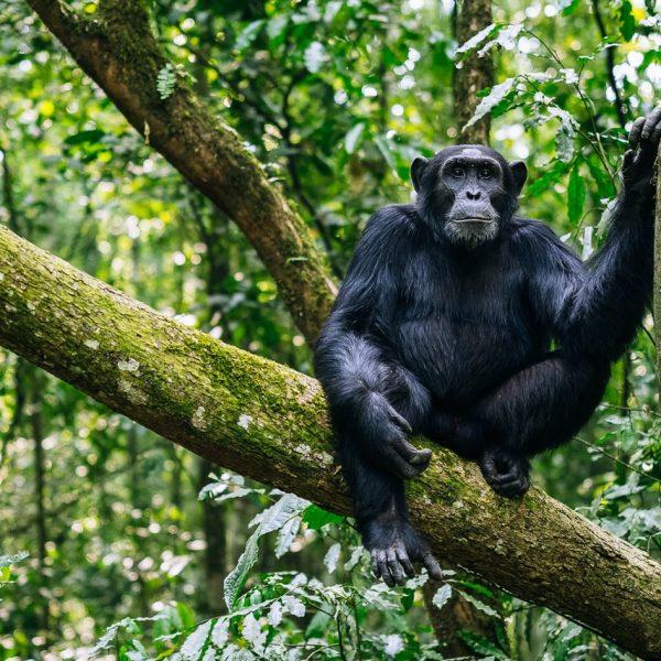 chimpanzee-kibale-forest-uganda-timbuktu-travel