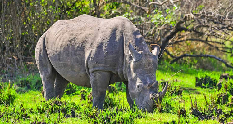 Rhino Trekking in Uganda with Kigee Tours
