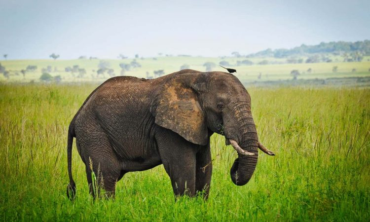 Elephant in Murchison with Kigere tours