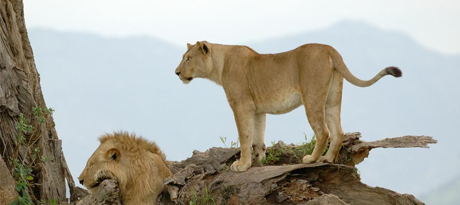 lions in kidepo