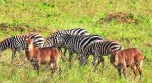 water  bucks and zebras