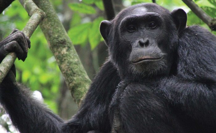 chimpanzees-in-uganda-22