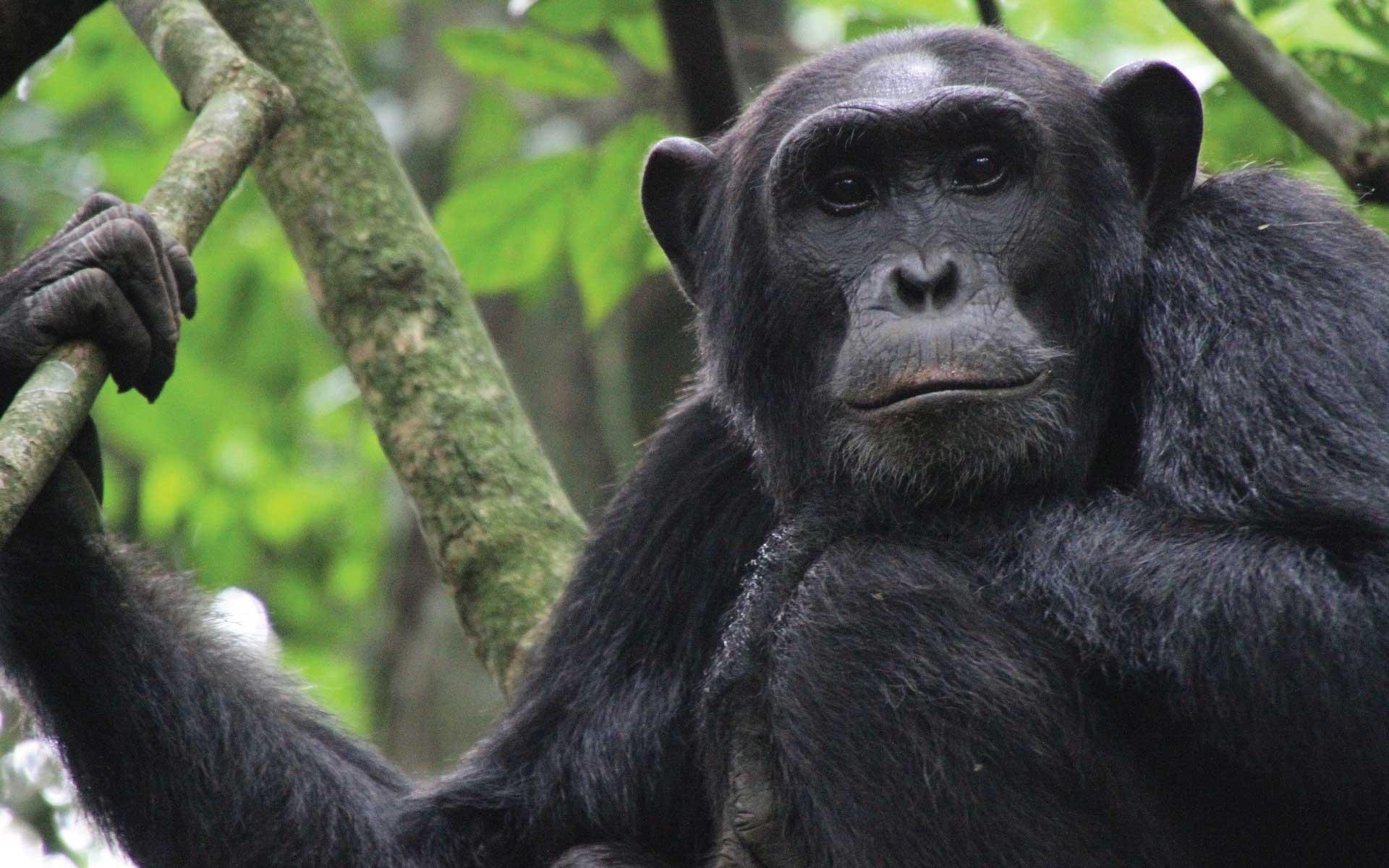 chimpanzees-in-uganda-22