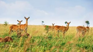 female-kob-antelopes-queen-elizabeth