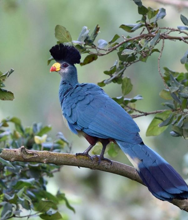 Great Blue turacco